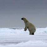Polar Bear (33)