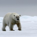 Polar Bear (34)