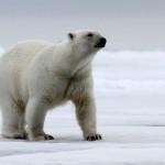 Polar Bear (39)