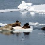 Walrus (3)