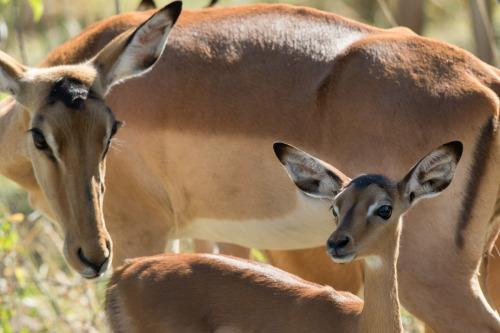 impala 3