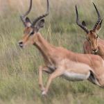 impala 6