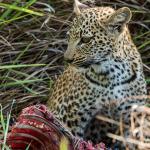 leopard 10