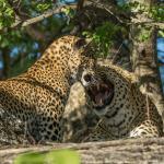 leopard 15