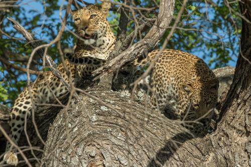 leopard 17