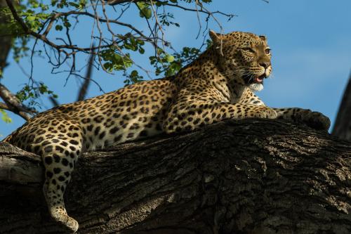 leopard 19