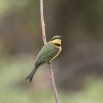 little bee-eater 2