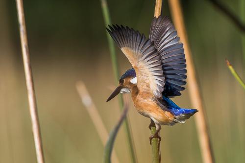 malachite kingfisher 10