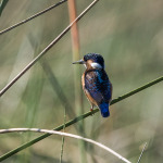 malachite kingfisher 12