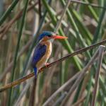 malachite kingfisher 2