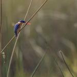 malachite kingfisher 3