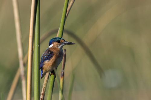 malachite kingfisher 5