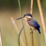 malachite kingfisher 8