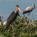marabou stork 2