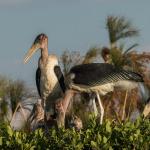 marabou stork 4