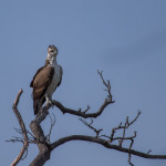 martial eagle 3