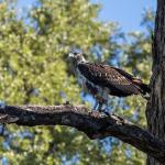 martial eagle juv