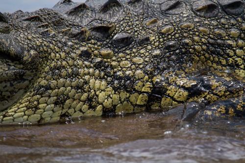nile croc 2