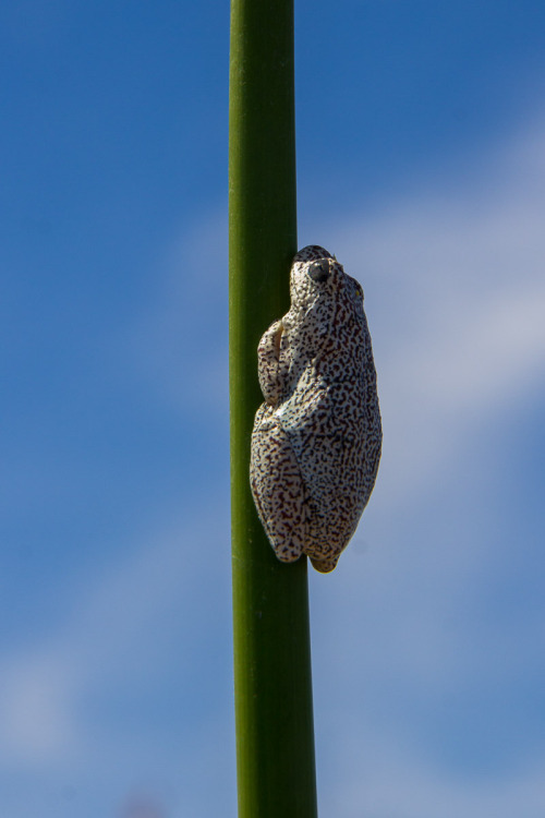 painted reed frog 2