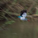 woodland kingfisher 2