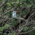 woodland kingfisher 3