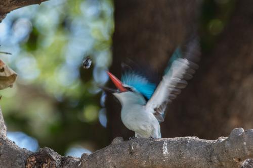 woodland kingfisher 4