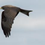 yellow billed kite 2