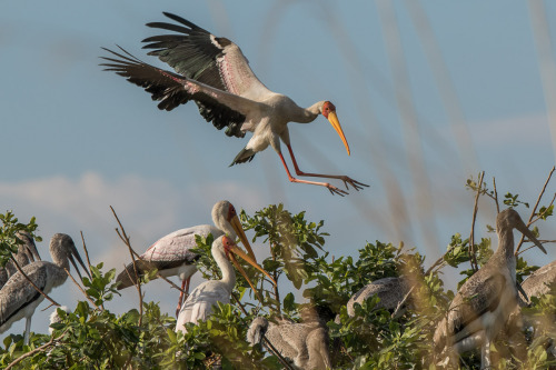 yellow billed stork 2