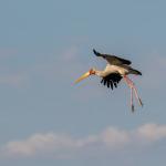 yellow billed stork 3