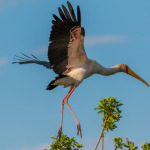 yellow billed stork 5