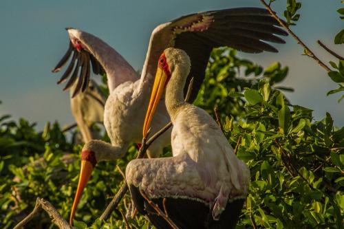 yellow billed stork 7