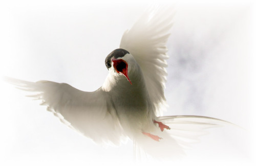 Arctic Tern (5) copy_web