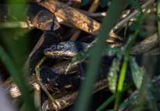 Water moccasins (Cottonmouths)