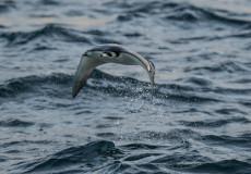 Spiny-tailed Mobula