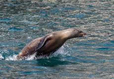 Californian Sea-lion