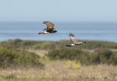 Northern (Hen) Harriers