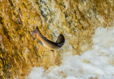 Salmon leaping Stainforth Force