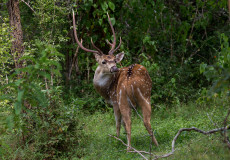 Spotted and sambur deer