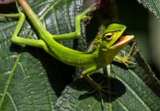 Garden lizards (chameleons)