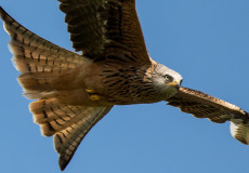 Red Kites and squabbling buzzards