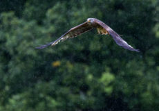 More red kites and buzzards