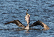 The bill of a pelican can hold more than its belican
