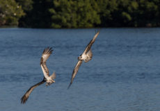 Ospreys squabbling over territory