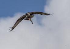 Osprey/bald eagle battle