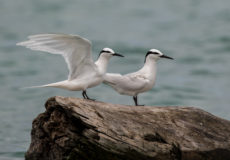 Whiskered, black-naped and white terns