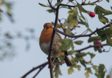Robin, greenfinch and long-tailed tit