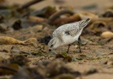 Beach birds at Saltburn