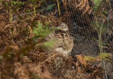 Pheasants at Minsmere