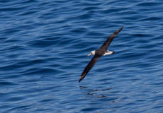 Black-footed albatross, laysan albatross and a following northern fulmar