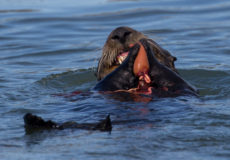 Southern sea otters